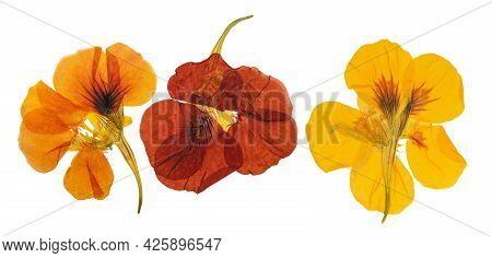 Pressed And Dried Delicate Orange, Yellow Flowers Nasturtium (tropaeolum). Isolated On White Backgro