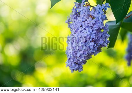 Blue Blooming Lilac Flowers In Spring. Branches With Spring Lilac Flowers