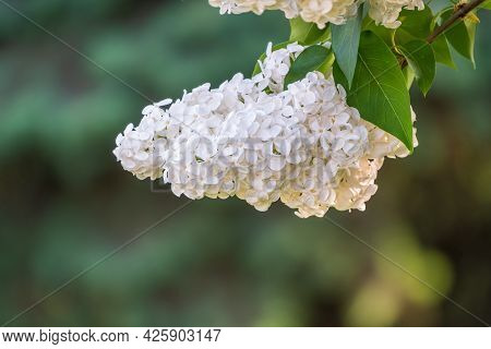 White Blooming Lilac Flowers In Spring. Branches With Spring Lilac Flowers