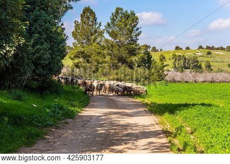 Large flock of sheep and rams is driven along a dirt road around the meadows. Wide green meadow with lush tall grass. Warm sunny february day in Israel. Spring green world.
