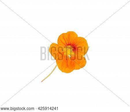 Orange Flower Of Nasturtium On A White Background, Isolate, Close-up.
