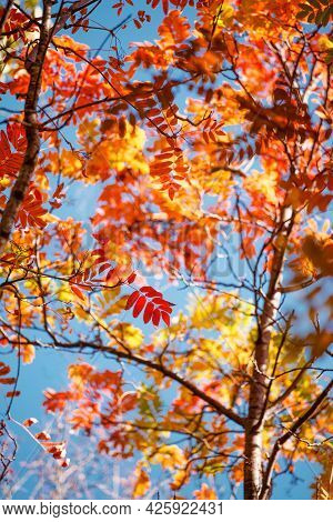 Beautiful Autumn Landscape With Red Yellow Rowan Trees On Blue Sky, Sunny Day. Colorful Foliage In T