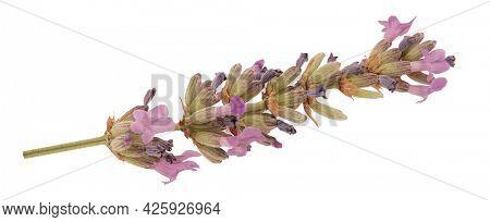 Lavender flowers Lavandula angustifolia isolated on white background