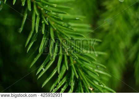 Coniferous Tree Branch With Drops Of Ross. Close-up. Macro