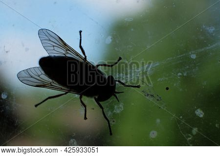 Horsefly Or Gadfly Or Horse Fly Diptera Insect Macro