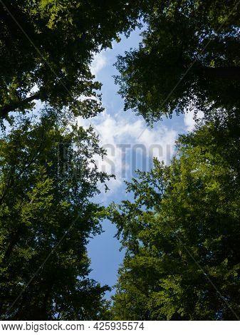 Cross Shape Opening In Tree Canopy Looking Toward Sky
