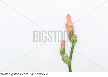 Beautiful Pink Gladiolus Flower On White Background. Minimal Floral Concept, Simple Modern, Isolated