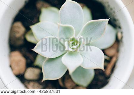 Succulent In White Pot On The Windowsill.