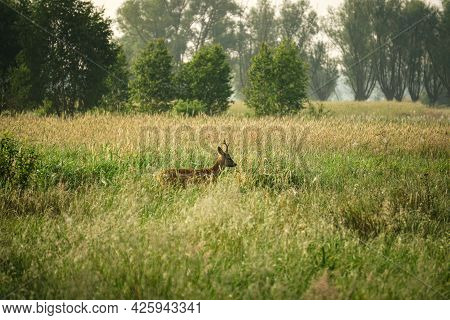 Male Roe Deer (Capreolus capreolus) walks on a green meadow. Roe Deer looking for a food. Meadow with wild animals. Animal in a natural habitat.