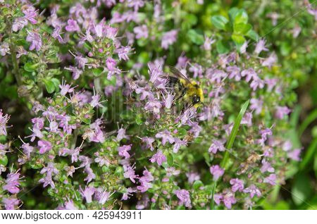 Bumblebee Collects Nectar On Flowering Thyme (lat. Thymus Serpyllum)