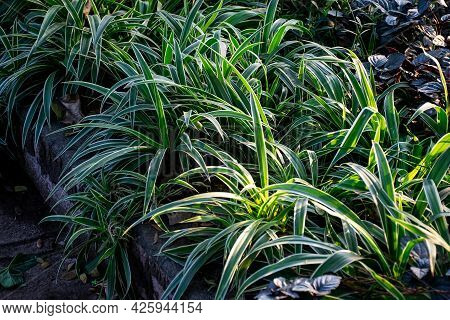 Stock Photo Of Variegated Flax Lily Plant Having Green Leaves With Yellow Color Contras Strips , Blo