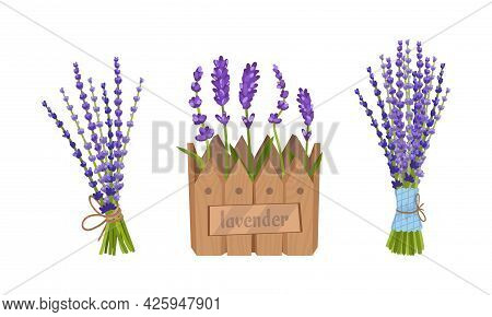 Lavender Fragrant Floral Twigs Growing On Flowerbed And Tied In Bunches Vector Set