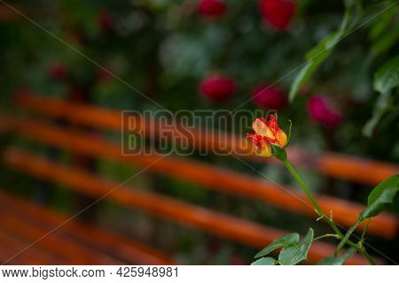Incredibly Beautiful Delicate Blossoming Yellow-red Rose Bud On The Background Of A Wooden Bench