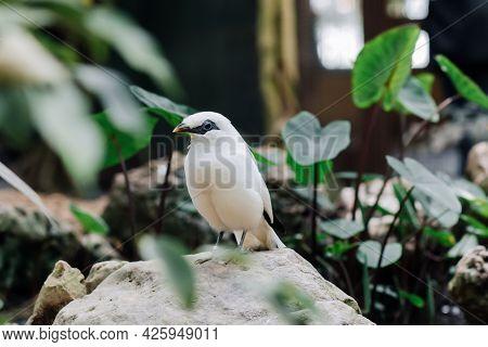 Bali Myna Or Rothschilds Mynah, Bali Starling Sitting On A Stone. Exotic Bird Portrait Closeup In Zo