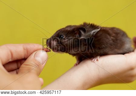 A Syrian Hamster Takes Food From His Hand On A Yellow Background.