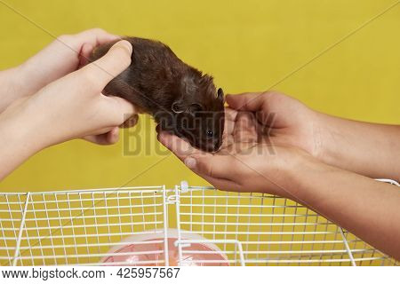 The Hostess Passes Her Syrian Hamster Into Other Hands.