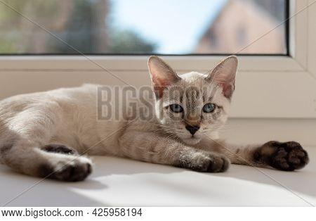 Portrait Of Little Kitten Lying Near The Window In Living Room. Color-point Cat Mekong Bobtail Breed