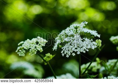 Beautiful Blooming Hairy Chervil Flower - Chaerophyllum Hirsutum - On Blurred Background Close Up De
