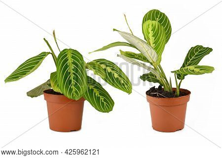 Comparison Of Raised And Lowered Leaves During Daytime And Nighttime Of Prayer Plant With Botanic Na