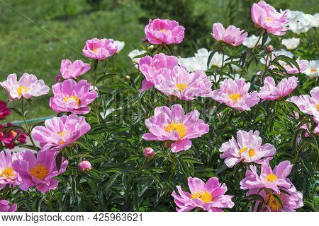 Herbaceous Peonies Lake Of Silver. Carmine Pink Double Flowers With Silvery Tips.