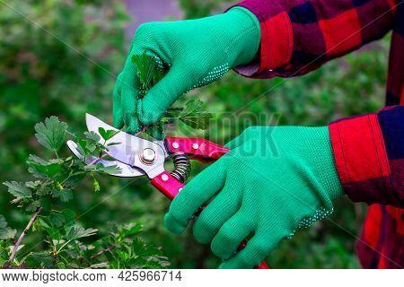 Gardeners Job. Cutting Garden Bushes. Pruning Bushes With Pruning Shears. Garden Shears In Hand.