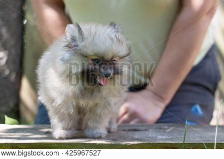 A Small Dog A Two-month-old Pomeranian Puppy Is Standing On The Board Behind It Is Held By Female Ha