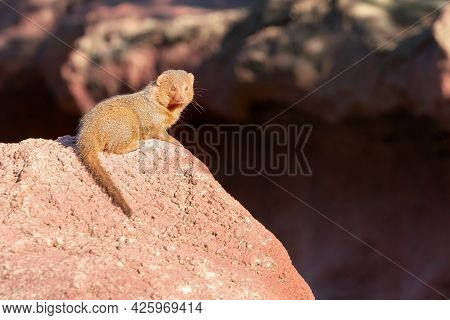 Common Dwarf Mongoose, Helogale Parvula. Sitting On A Big Boulder In Bright Sunshine. Mongoose Speci