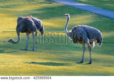 Two Specimen Of Common Ostrich, Struthio Camelus, Walking On A Grass On A Sunny Day. Large Flightles