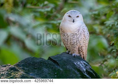 Closeup Shot Of Snowy Owl, Bubo Scandiacus, Also Known As Polar, White Or Arctic Owl, Sitting On A B
