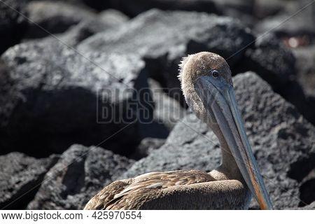 Galapagos Brown Pelican (pelecanus Occidentalis Urinator) Against Backdrop Of Lava Rocks Galapagos I