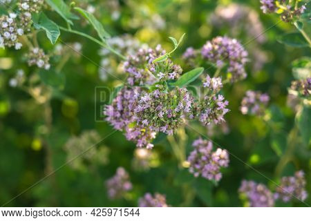 Oregano Flowers Top View. Blooming Wild Oregano In The Meadow