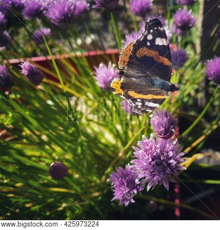 Orange And Black Butterfly On Purple Chive Flowers