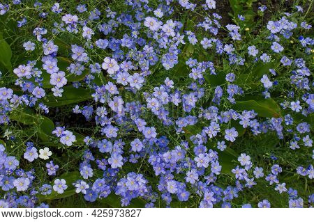 Summer Meadow Background With Blue Flax Flowers. Gentle Flowering Plants. Top View