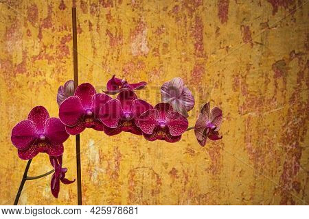 Beautiful Blooming Purple Orchid Near The Old Shabby Wall