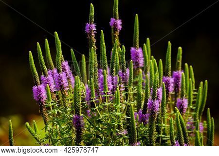 Pogostemon Deccanensis Also Known As Jambhli Manjiri Is A Aquatic Herb Which Have Purple Stamens Flo