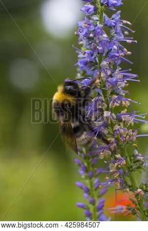 The Striped Bumblebee Collects Pollen And Nectar On The Flower. Summer