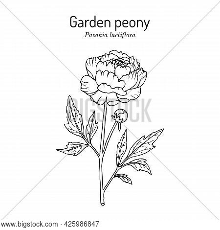 Chinese Peony Or Common Garden Peony Paeonia Lactiflora , State Flower Of Indiana. Vector Hand Drawn