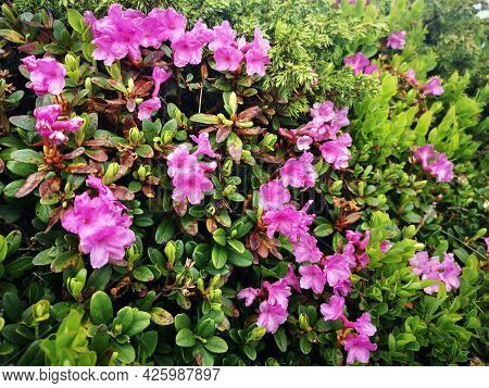 Rhododendron Flowers In The Mountains - Alpine Flora