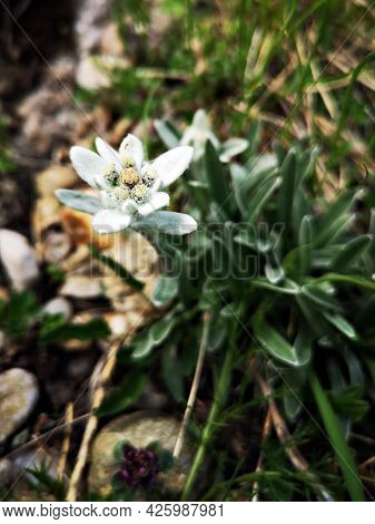 Leontopodium Nivale, Commonly Called Edelweiss. Alpine Flora. Alpine Meadows