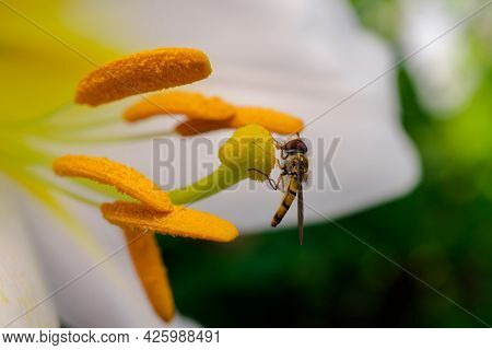Insect Pollinates The Pistil Of A Lily Flower, Close-up, Macro