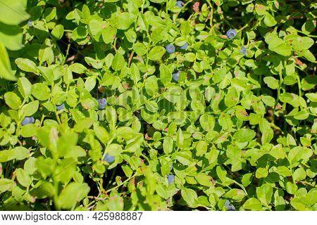 Bushebushes With Ripe Blueberries. Summer Blueberry Harvests With Ripe Blueberries. Summer Blueberry