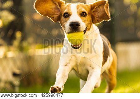 Beagle Dog Fun In Garden Outdoors Run And Jump With Ball