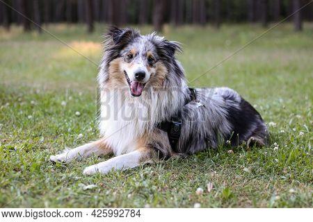 Beautiful Blue Merle Sheltie Shetland Sheepdog Dog Fwith Fluffy Fur Tri-color Sitting On A Green Gra