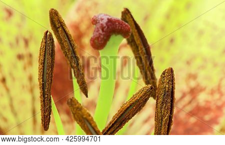 Yellow Lily Flower,  Close Up Stamen And Pistil,