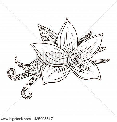 Line Art Vanilla Flower And Pods Engraving Illustration