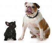 big and small dog - small french bulldog looking up to big english bulldog licking lips wearing spiked collar poster