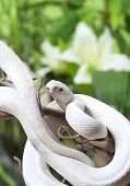 Texas rat snake rested on a wooden branch outdoor poster