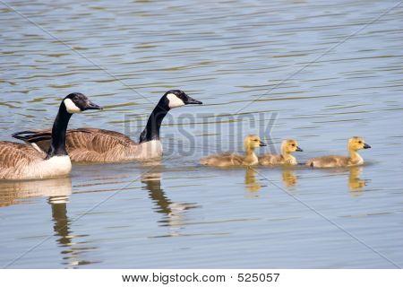 Canada Goose Family Swim