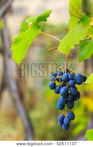 Blue Grapes With Green Leaves On Vineyard Blurred Background
