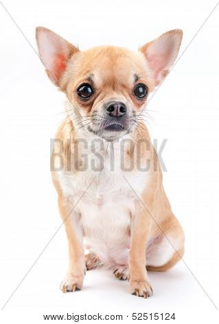 pale beige with white Chihuahua dog sitting on white background poster